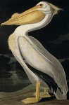 Wild Animals Painting Posters - American White Pelican Poster by John James Audubon