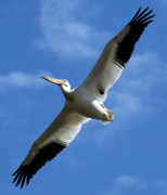 Marilyn Hunt - American White Pelican Wings