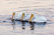 White Pelicans Framed Prints - American White Pelicans Framed Print by Bob Gibbons