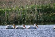American White Pelicans Pelecanus Print by Phil Schermeister