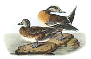 Ducks Paintings - American Wigeon by John James Audubon
