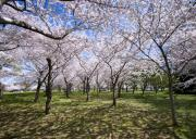 Jefferson Memorial Tapestries Textiles - Amid Cherry Trees Washington D.C. Cherry Blossom Festival by Brendan Reals