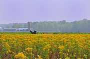 Amish Farmer Photos - Amish Buggy and Yellow Field by David Arment