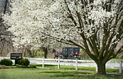 Amish Buggy Photos - Amish Buggy Fowering Tree by David Arment