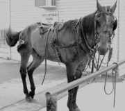 Amish Farms Prints - Amish Horse Print by Eric  Schiabor
