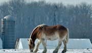 Snow Horses Framed Prints - Amish Horse Framed Print by Maria Suhr