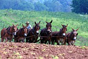 Amish Farms Prints - Amish Plowing the Fields With Mules Print by Randy Matthews