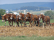 Amish Farms Posters - Amish Working Team  Poster by Louise Peardon