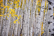 Fall Leaves Prints - Among the Aspen Trunks Print by Carolyn Rauh