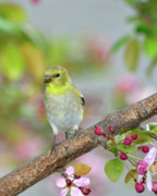 American Goldfinch Prints - Among the Blossoms Print by Betty LaRue