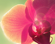 Orchid Macro Framed Prints - Amoroso Framed Print by Amy Tyler