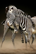 Wild Life Cards Digital Art Framed Prints - Amorous Zebras  Framed Print by Ivor Toms