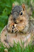 Fox Squirrel Art - Ample Waist by James Marvin Phelps