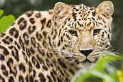Endangered Cat Posters - Amur Leopard Poster by Power And Syred