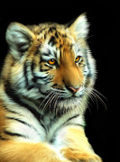 Julie L Hoddinott - Amur Tiger Cub