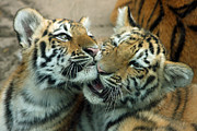 Rosamond Prints - Amur Tiger Cubs Print by Kathy Eastmond