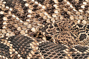 Rattlesnakes Prints - An Abstract Danger Print by JC Findley