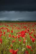 Ground Level View Posters - An Abundance Of Poppies In A Field Poster by John Short