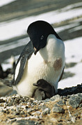 Animal Behavior Art - An Adelie Penguin And Its Chick by Bill Curtsinger