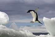 Icebergs Photos - An Adelie Penguin, Pygoscelis Adeliae by Ralph Lee Hopkins