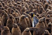 Standing Out From The Crowd Posters - An Adult King Penguin Searching To Find Poster by Paul Nicklen