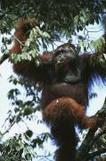 Orangutans Photos - An Adult Male Orangutan Eats Durian by Tim Laman