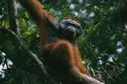 Orangutans Photos - An Adult Male Orangutan On The Branch by Tim Laman