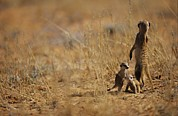 South Africa Prints - An Adult Meerkat Stands Guard Over Two Print by Mattias Klum