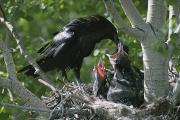Dry Creek Photos - An Adult Raven Corvus Corax Feeds by Michael S. Quinton