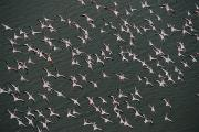 Flamingos Art - An Aerial View Of A Flying Flock by Chris Johns