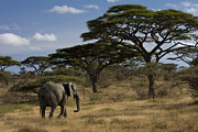 African Gray Posters - An African Elephant Walks Among Acacia Poster by Ralph Lee Hopkins