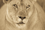 Urban Scenes Prints - An African Lion Looks Into The Distance Print by Ralph Lee Hopkins