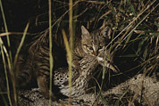 Hunting Scenes Framed Prints - An African Wild Cat Kitten Holds A Bird Framed Print by Kim Wolhuter
