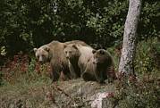 Animal Behavior Photos - An Alaskan Brown Bear And Her Cubs by Roy Toft