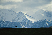 Moose Photos - An Alaskan Moose Against A Backdrop by Michael S. Quinton