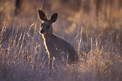 Wary Prints - An Alert Eastern Grey Kangaroo Feeding Print by Jason Edwards
