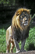 King Of The Jungle Prints - An Alert, Majestic Lion With An Print by Jason Edwards