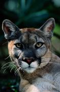 Issues Framed Prints - An Alleged Florida Panther. Owner Frank Framed Print by Michael Nichols