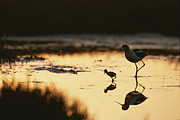 Palo Alto Prints - An American Avocet And Her Chick Wade Print by Roy Toft