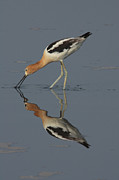 Bombay Posters - An American Avocet Is Foraging Poster by George Grall