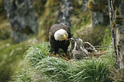 Juvenile Birds Posters - An American Bald Eagle Feeds Its Young Poster by Klaus Nigge