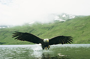Flying Eagles Framed Prints - An American Bald Eagle Lunges Framed Print by Klaus Nigge
