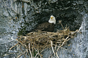 Roosting And Resting Posters - An American Bald Eagle Perches Poster by Klaus Nigge