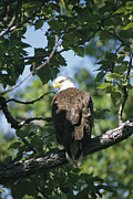 Roosting And Resting Posters - An American Bald Eagle Perches Poster by Rich Reid