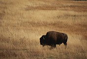 Bison Bison Framed Prints - An American Bision In Golden Grassland Framed Print by Michael Melford