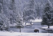 Woodland Scenes Framed Prints - An American Bison Alongside A River Framed Print by Michael Melford