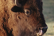 Custer State Park Posters - An American Bison Cleans Its Nose Poster by Annie Griffiths