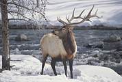 Unknown State Parks Framed Prints - An American Elk, Or Wapiti, In The Snow Framed Print by Michael Melford