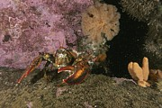 Lobsters Photos - An American Or Northern Lobster by Brian J. Skerry