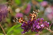 Painted Lady Butterflies Prints - An American Painted Lady Butterfly Print by Darlyne A. Murawski